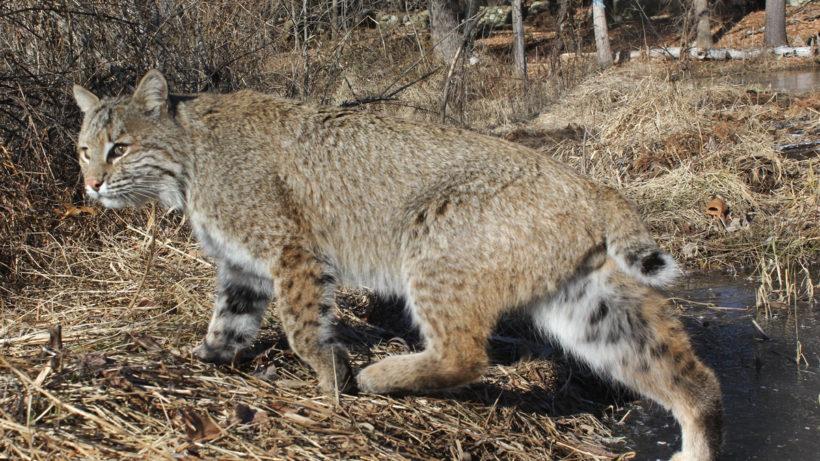 [image] bobcat walking